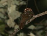 Moluccan Owlet-Nightjar