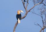 Papuan Hornbill (Blyth's)