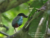 Azure-breasted Pitta