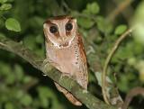 Oriental Bay Owl