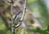 White-browed Shrike Babbler, female