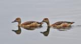 Lesser Whistling Tree Ducks