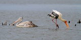 Painted Stork and Spot-billed Pelican