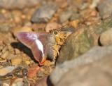 Common Orange Awlet