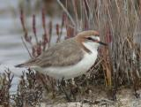 Red-capped Plover, male