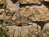 Chipmunk (as pointed out by a nice guest)