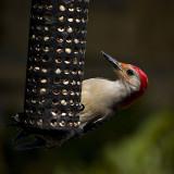 Red Bellied Woodpecker, a wonderful find