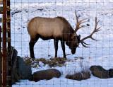 Elk Buck, How Handsome!
