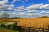 ... Amber Waves of Grain ...