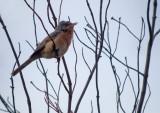 Baardgrasmus / Subalpine Warbler
