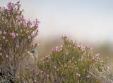 Brilgrasmus / Spectacled Warbler