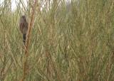 Provencaalse grasmus / Dartford Warbler