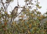 Westelijke orpheusgrasmus / Western Orphean Warbler