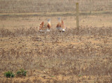 Grote trap / Great Bustard