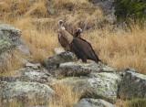 Monniksgier en Vale Gier / Black Vulture and Griffon Vulture