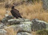 Monniksgier / Black Vulture