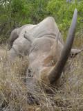 A lazy Kenyan Rhino