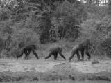 Walking Kenyan chimps