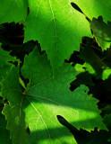 Seductive Vine Leaves