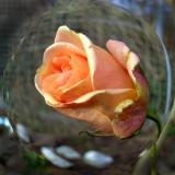 Last Rose of 2011