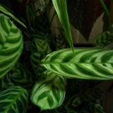 Tiger leaves