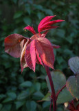 Rosy Red leaves