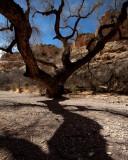 Box Canyon Tree