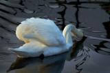Swan drinking - River Tista