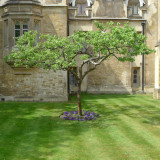 Lawn Tree, Cambridge