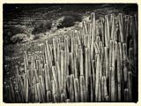 Cactus Grand Canary