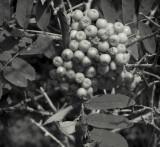 Rowanberries, Tjärnö, Sweden