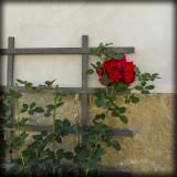 Fredrikstad, Old Town, Norway - Last Rose of Summer