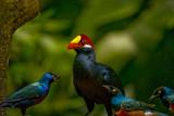 Violaceous Turaco & Starlings.jpg