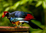 Violaceous Turaco & Superb Starling.jpg