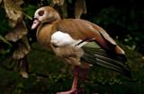 Egyptian Goose.jpg