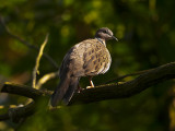 Spotted Dove 01.jpg