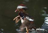 Mandarin duck 01.jpg