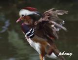 Mandarin duck 03.jpg