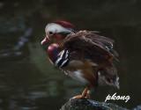 Mandarin duck 04.jpg