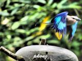 Blue Bellied Roller 01.jpg