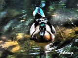 Mandarin duck 05.jpg