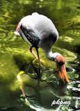 Yellow-billed Stork18.jpg