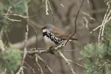 Diamond Firetail 4079.jpg