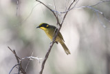 Yellow-tufted Honeyeater 8742b.jpg
