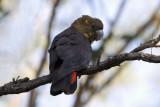 CACATUIDAE: Cockatoos