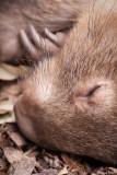 Another Sleeping Wombat