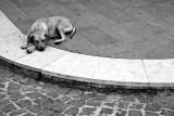 Island dog - Ischia