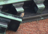 Peregrine: south side of clock tower; ledge to left/above clock face