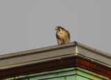 Peregrine: on rooftop with captured prey in talon