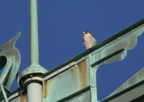 Peregrine: facing west/looking west on upper south pointing backspar of Viking boat